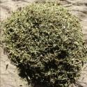 Brisures de prêles anti maladies des plantes