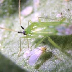 Macrolophus anti-aleurodes
