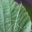 Graines de soucis bio Calendula officinalis