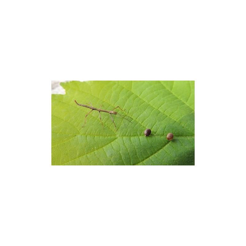 Piège à phéromone contre les mouches des fruits Mcphail